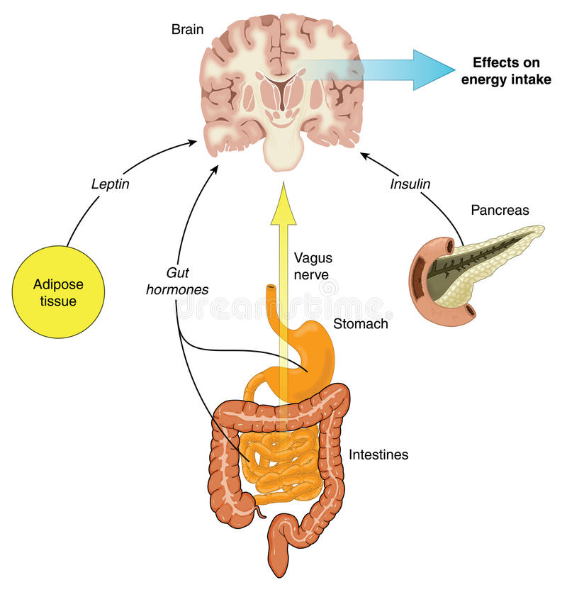 Control of food intake. Via hormones from the gut, adipose tissue and pancreas, and vagus nerve stimulation. Created in Adobe Illustrator. Contains royalty free illustration