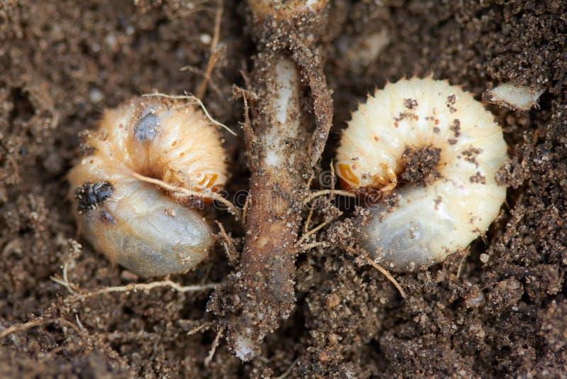 Controle de pragas, inseto, agricultura A larva da forra come a raiz da planta imagem de stock royalty free