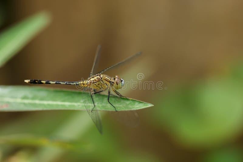 Controles amarillos de la libélula de la hoja verde fotos de archivo