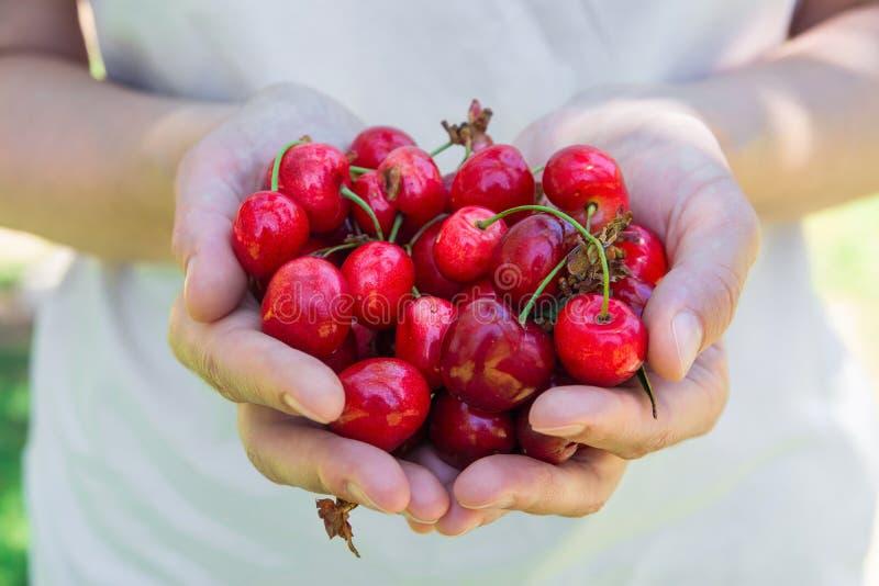Controles caucásicos jovenes de la muchacha de la mujer en el puñado de las manos de cerezas dulces recientemente escogidas orgán foto de archivo libre de regalías
