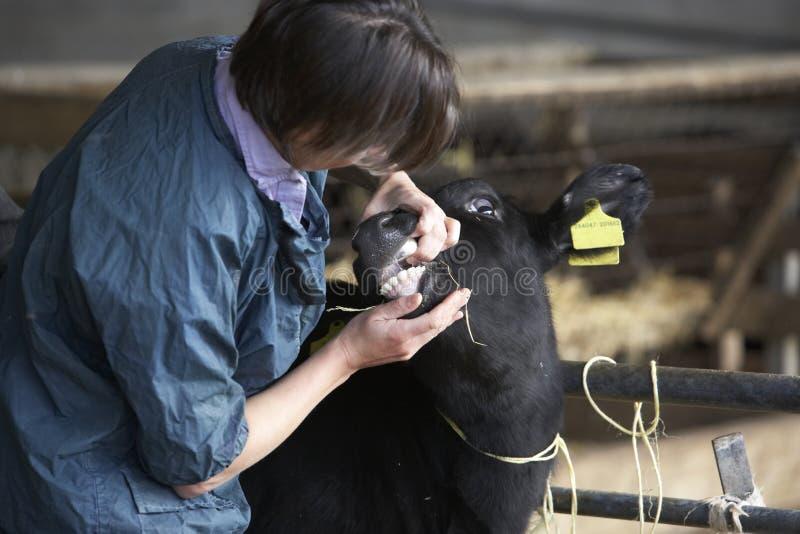 controllare d'esame del vitello fotografia stock libera da diritti
