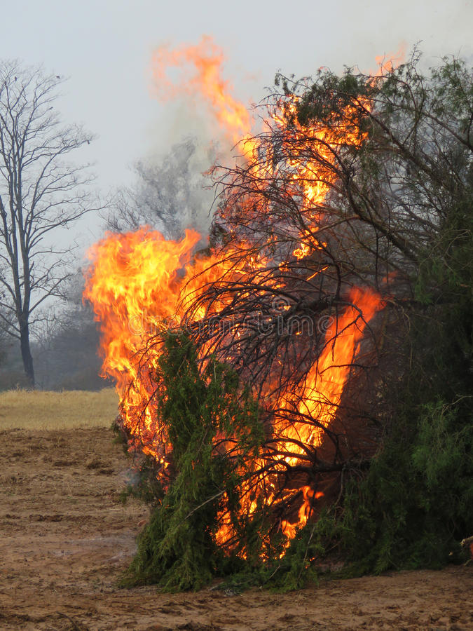 Controlled burn of cedar trees. Flames and smoke on twigs and branches of a living cedar tree. Controlled burn of nuisance trees and plants in a winter bare stock images