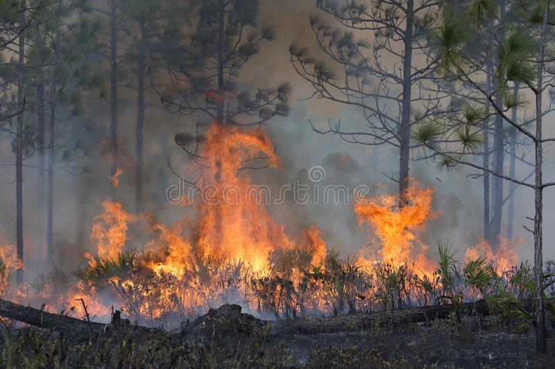 Controlled Burn in a Florida Forest royalty free stock photography