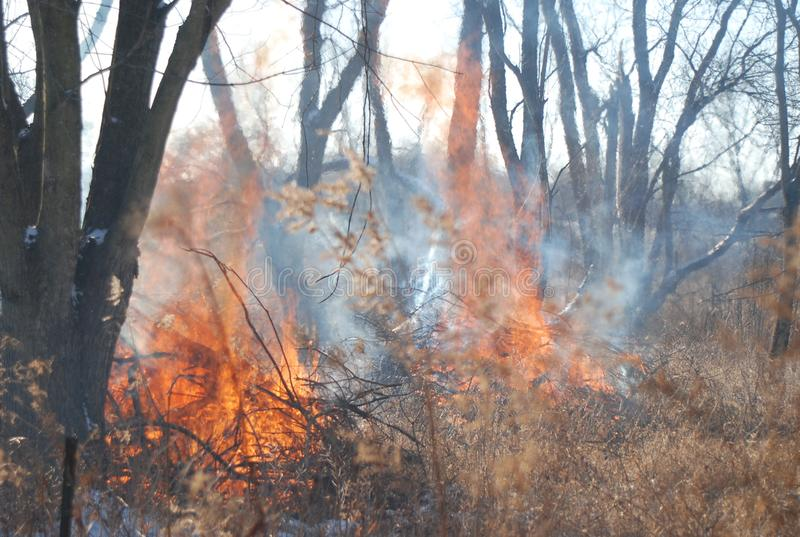 A controlled burn in the woods. Getting rid of invasive plants in the winter time by doing a safe controlled burn royalty free stock photography