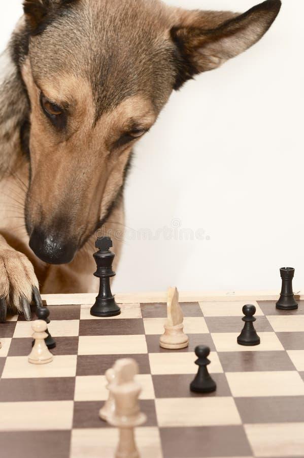 Controlli! Giocando gli scacchi gradica un cane fotografia stock