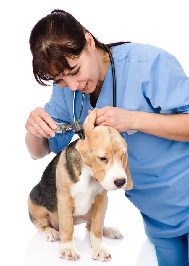 Controlli un orecchio del cane d'esame con un otoscopio Isolato immagini stock libere da diritti