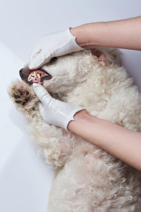 Controllo dei denti di cane immagine stock libera da diritti