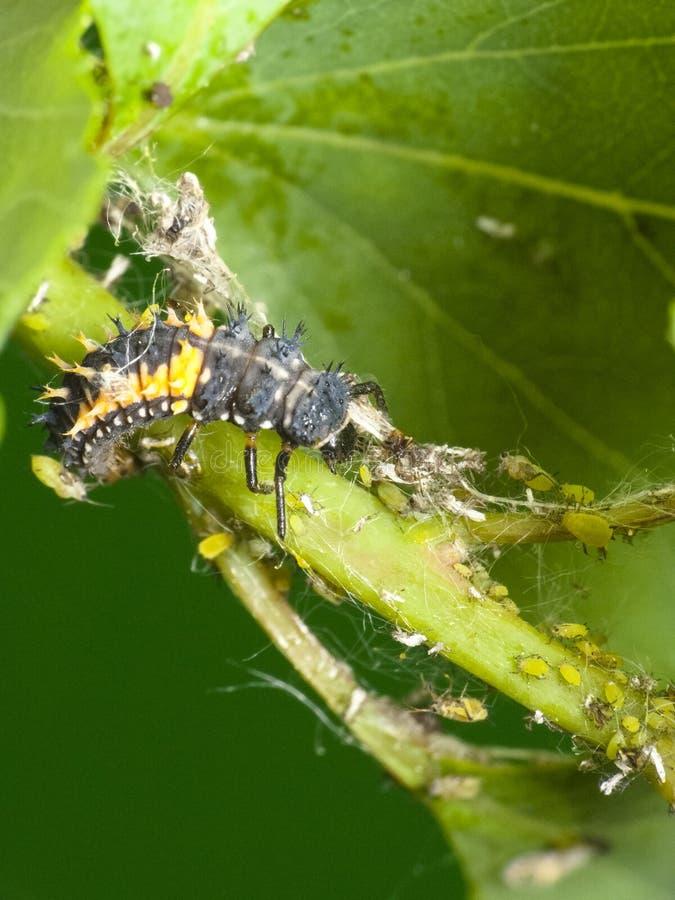 Controllo dei parassiti naturale Coccinella ed afidi della larva fotografia stock libera da diritti