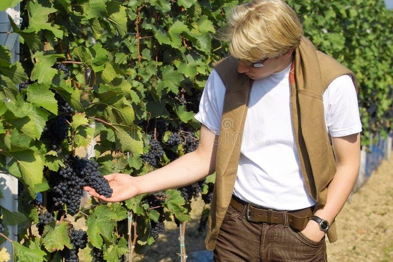 Controllo dell'uva fotografia stock libera da diritti