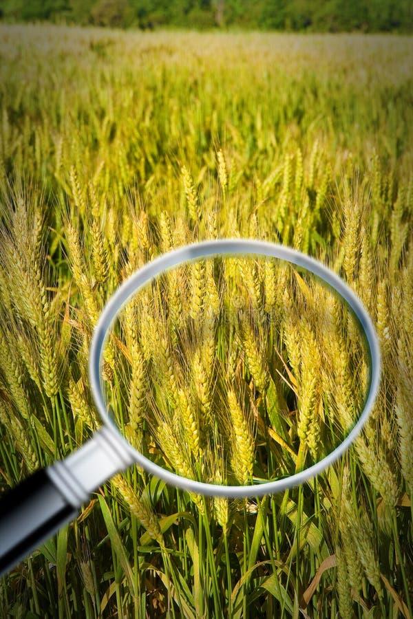 Controllo di crescita e di ricerca delle malattie del grano - immagine di concetto fotografia stock