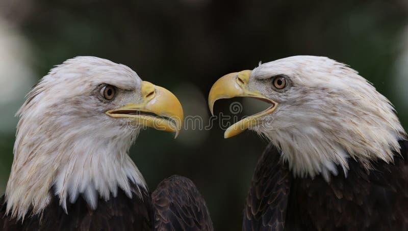 A controvérsia da águia americana imagens de stock royalty free