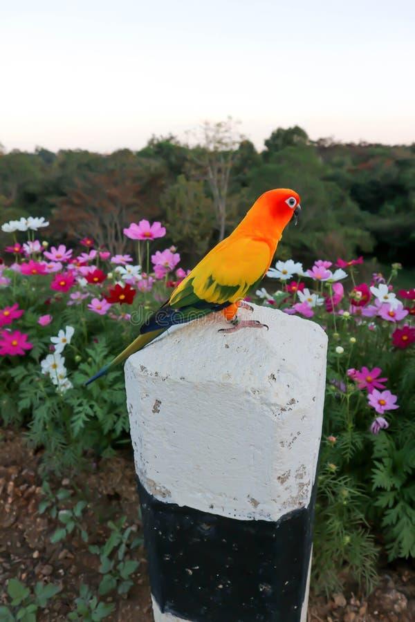 Conure παπαγάλων ή πουλιών ή ήλιων στοκ φωτογραφία με δικαίωμα ελεύθερης χρήσης