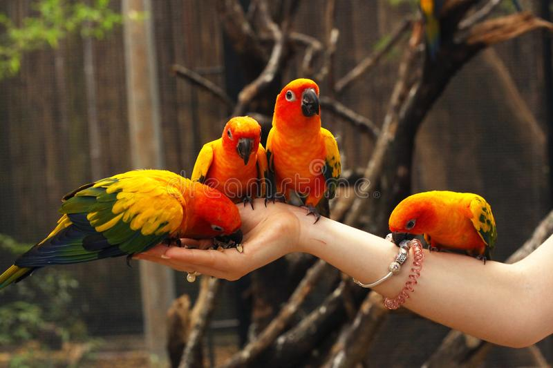 Conure parrots sit on human hands close up photo. On jungle outdoor background stock photo