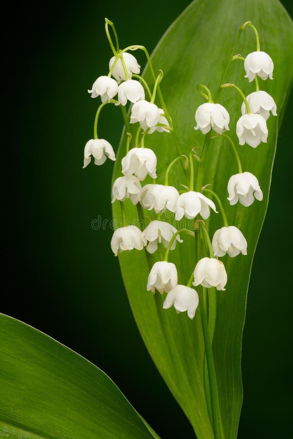 Download Convallaria majalis stock photo. Image of greenery, isolated - 28804426