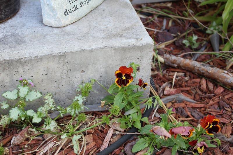 Convergent lady beetle plant stock photo