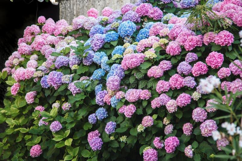 Conversão da hortênsia As flores são rosa, azul, lilás, violeta, roxo Os arbustos estão florescendo na mola e no verão no jardim imagens de stock