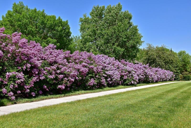 Conversão de lilás roxos de florescência foto de stock