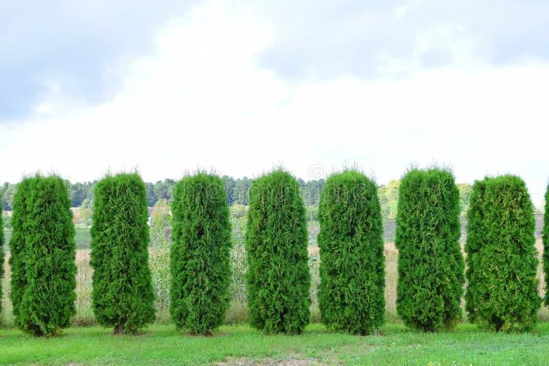 Conversão do thuja sempre-verde imagem de stock royalty free