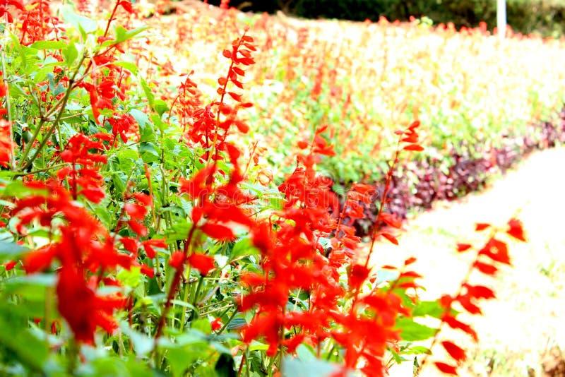 Conversão vibrante da cor vermelha no jardim imagens de stock royalty free