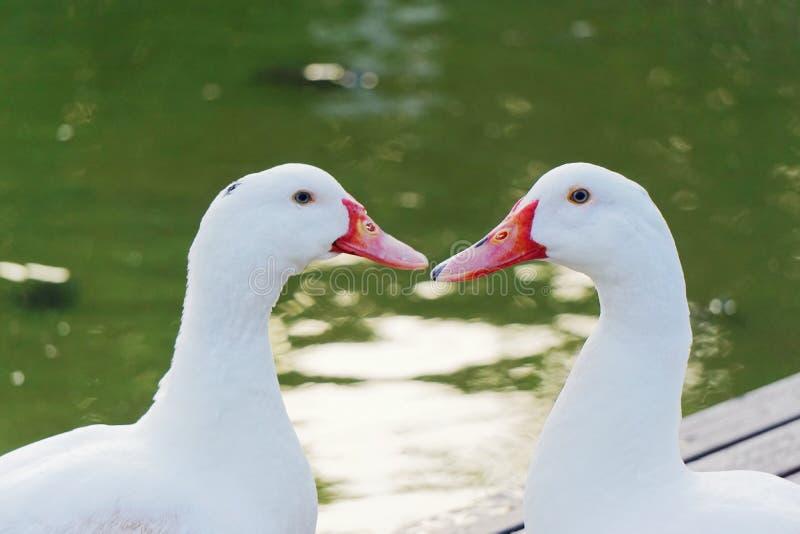 Conversa do amor de dois patos imagens de stock
