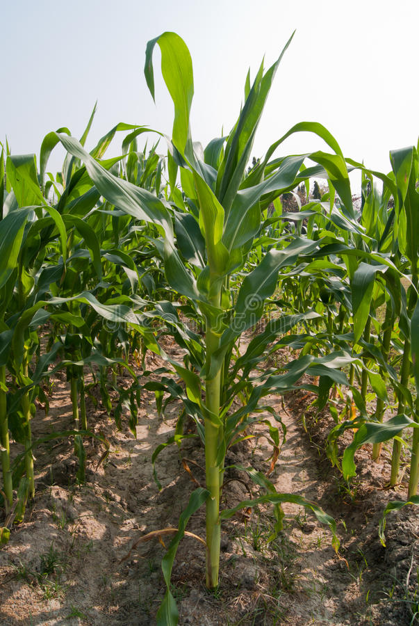 Conversion du maïs photos stock