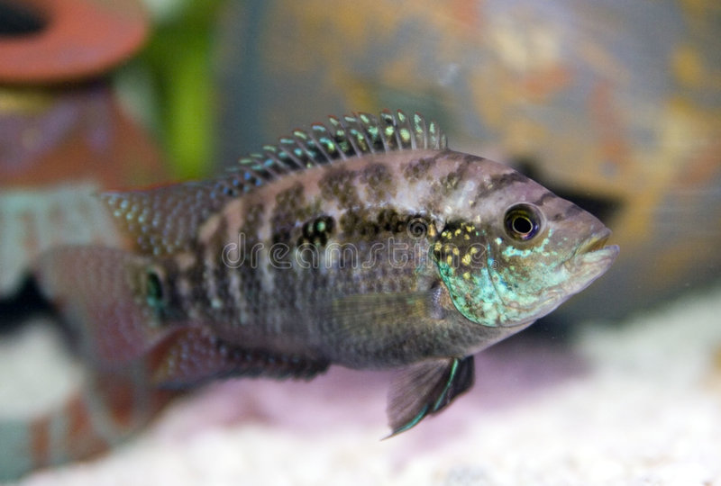 Convict Cichlid stock photography