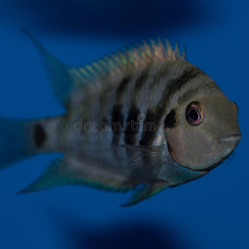 Male Convict Cichlid. The convict cichlid is a fish species from the family Cichlidae, native to Central America, also known as the zebra cichlid. Convict stock photos