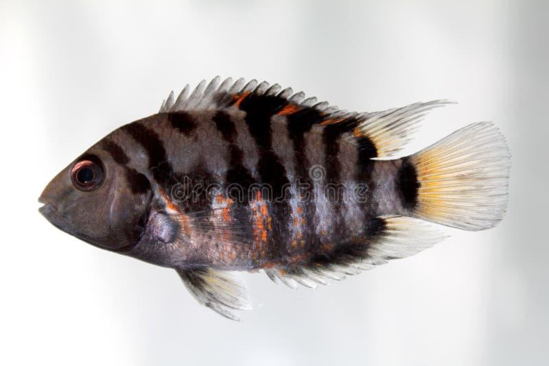 Convict cichlid (Zebra cichlid). Aquarium fish Convict cichlid (Zebra cichlid royalty free stock photos