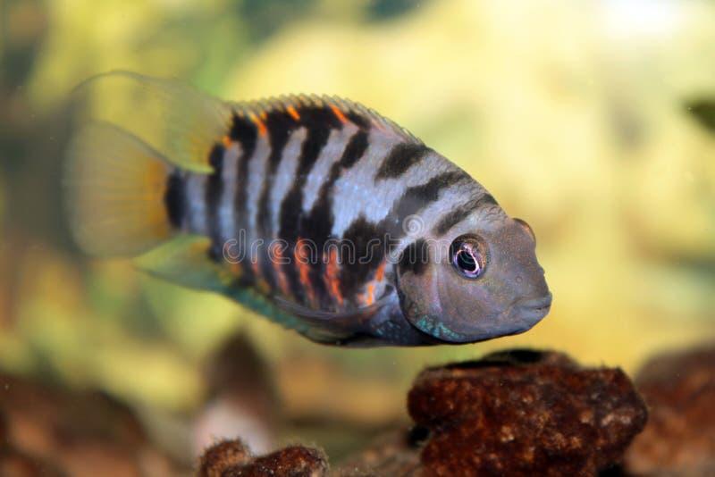 Convict cichlid (Zebra cichlid). Aquarium fish Convict cichlid (Zebra cichlid stock images
