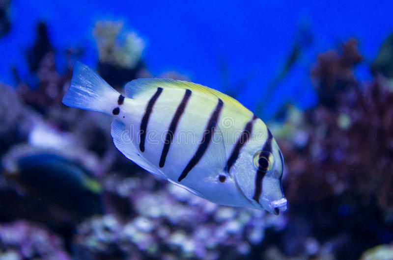Convict Fish. This convict fish swims in the coral reef royalty free stock images