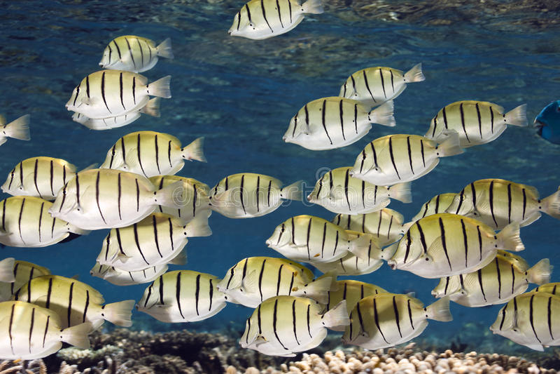 Convict surgeon fish Acanthurus triostegus shoal. In blue lagoon of Ari atoll - Maldives stock images
