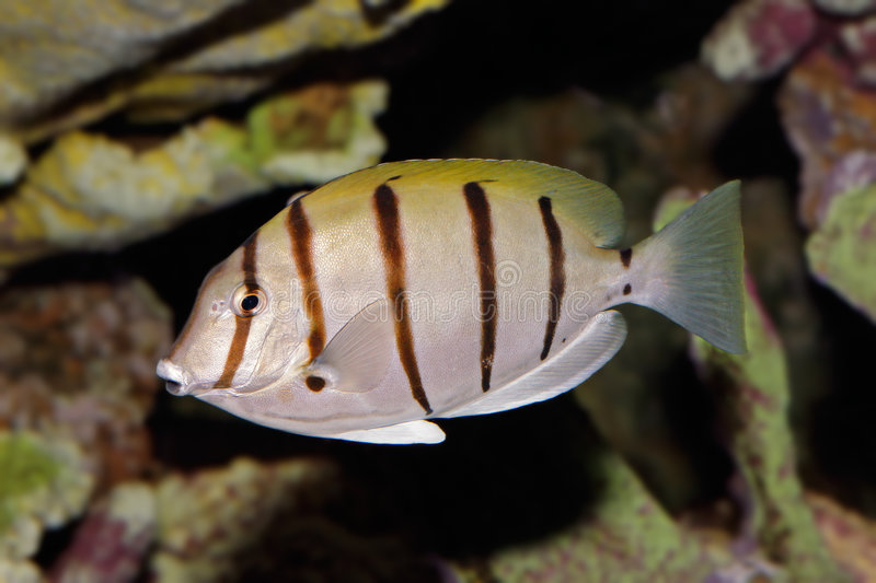 Convict Surgeonfish. Underwater view of a Convict Surgeonfish or Manini (Acanthurus triostegus royalty free stock photography