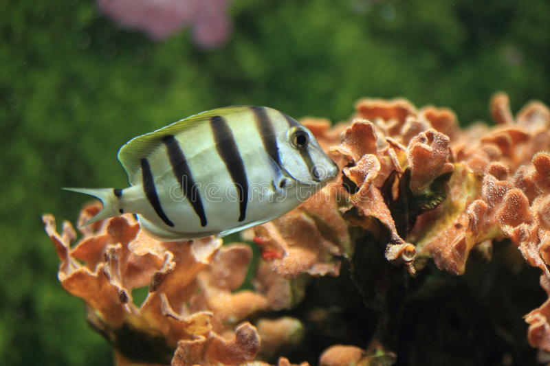 Convict surgeonfish. The convict surgeonfish floating in water stock image