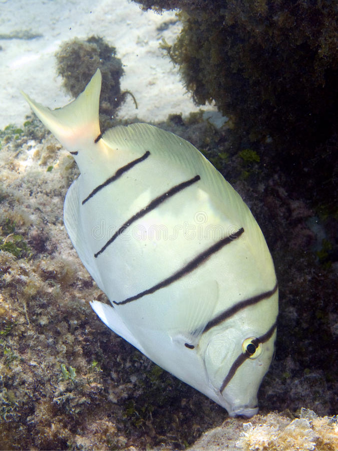 Convict Surgeonfish macro. Macro of a common surgeonfish in Bora Bora, Polynesia. italian name: Chirurgo Galeotto (o pentastriato) scientific name: Acanthurus stock image