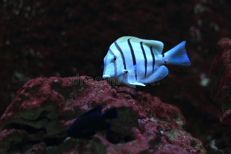 Convict tang. The convict tang also known as Acanthurus triostegus stock photo