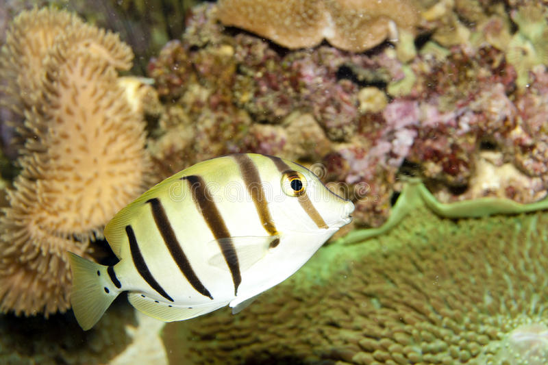 Convict Tang (Acanthurus triostegus) stock photography