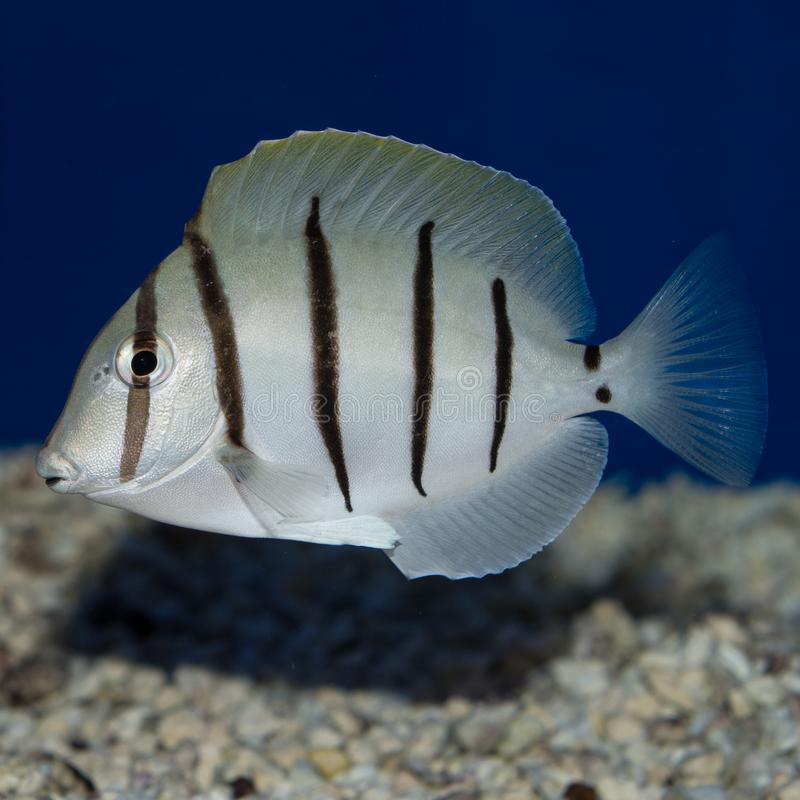 Convict Tang Acanthurus triostegus. The Convict Tang, also known as the Convict Surgeonfish, has a stunning white to silver body highlighted by six vertical stock image