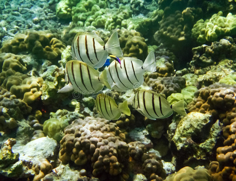 Convict Tangs. Rainbow cleaner wrasse, (Labroides phthirophagu) swimming with a group of Convict Tangs on a reef in Hawaii royalty free stock photos