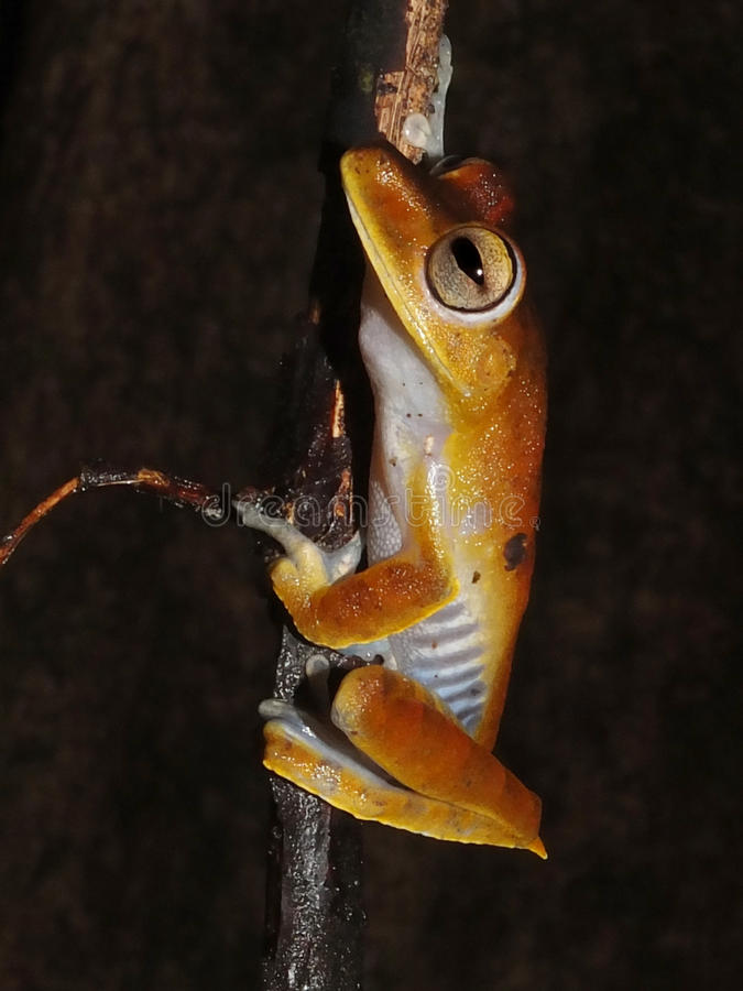 Convict tree frog at night. Convict tree frog, Hypsiboas calcaratus, sitting on a jungle tree branch stock images