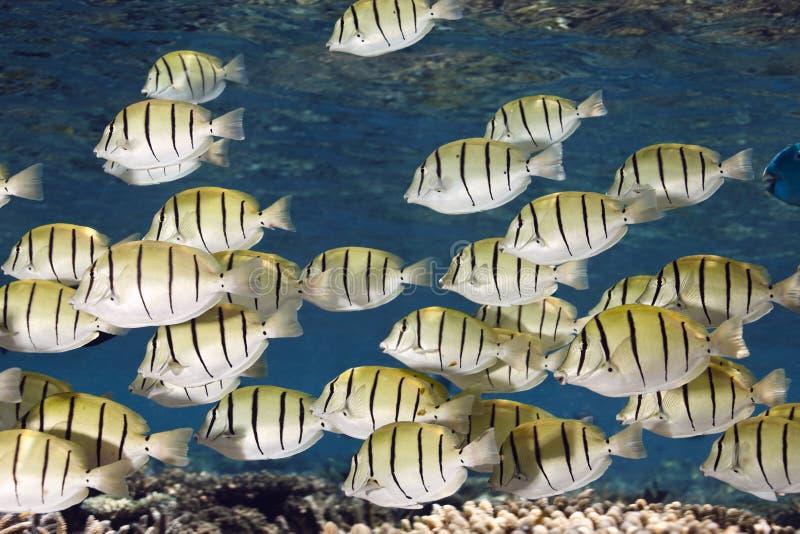 Convictchirurgfische Acanthurus triostegus Masse stockbilder