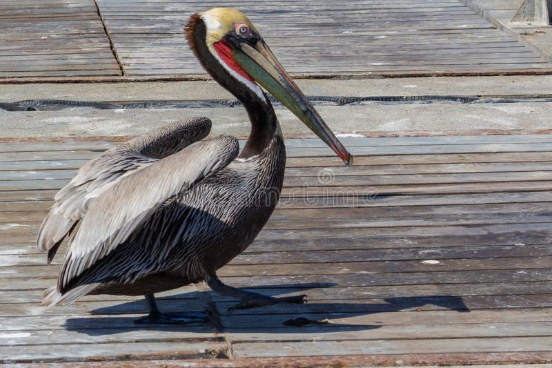 Adult Male Brown Pelican Struts His Breeding Plumage for the Ladies royalty free stock photo