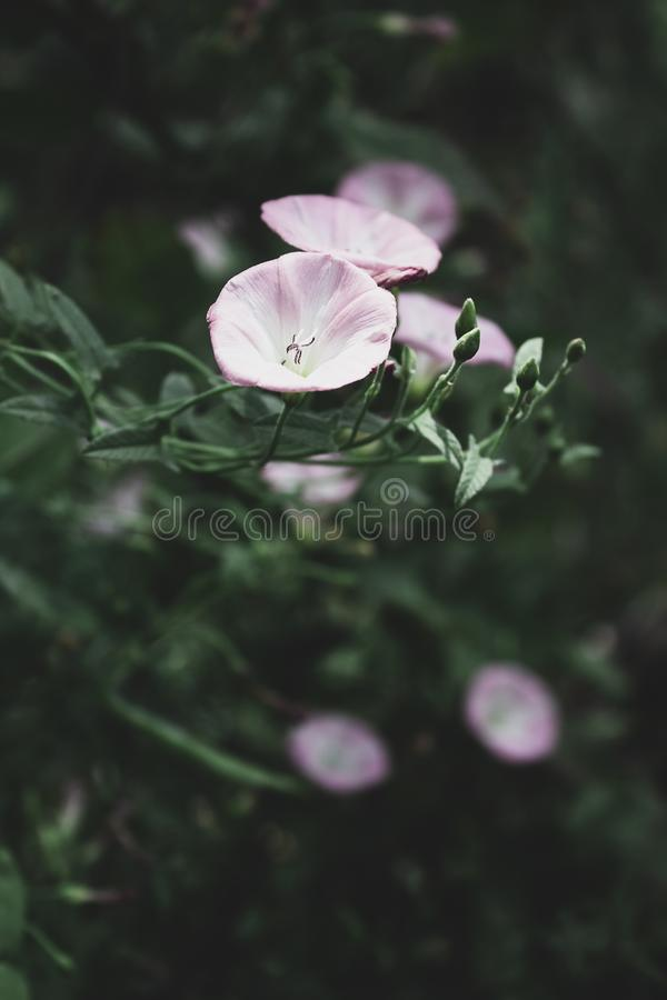Convolvolo di campo, rosa fotografie stock
