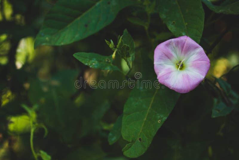 Convolvolo di campo, rosa fotografia stock libera da diritti