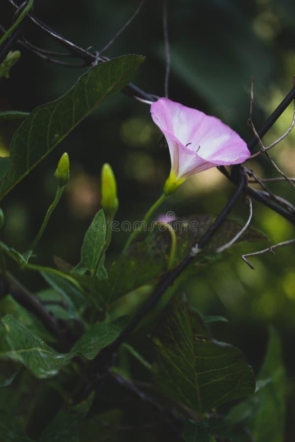 Convolvolo di campo, rosa fotografia stock