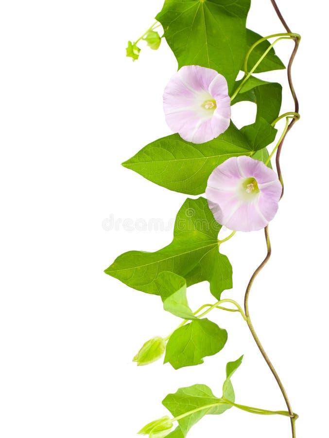 convolvulus ροζ στοκ εικόνες