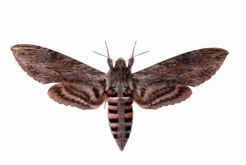 Convolvulus Hawk-moth stock images