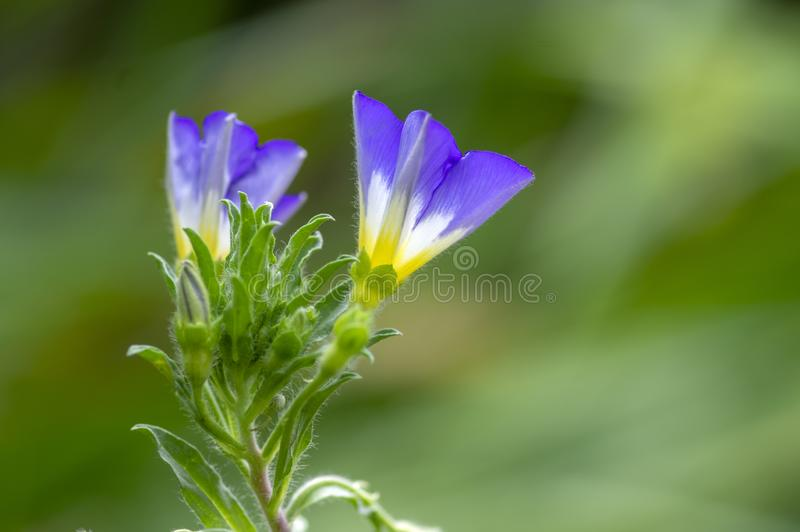 Convolvulus tricolor amazing flowering plant, purple violet flowers in bloom. Green leaves and background stock image