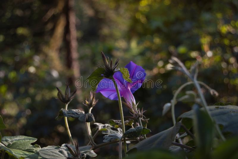 Convolvulus violet flowering plant. Bindweed. Purple, curl royalty free stock photography