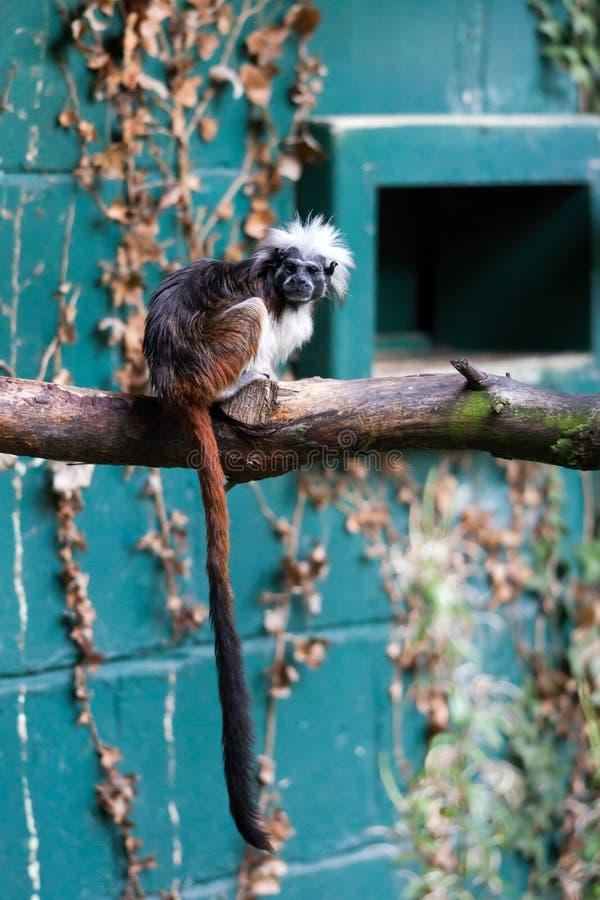 CONWY, WALES/UK - 8 OCTOBRE : tamarin au dessus du coton (oedip de Saguinus photographie stock