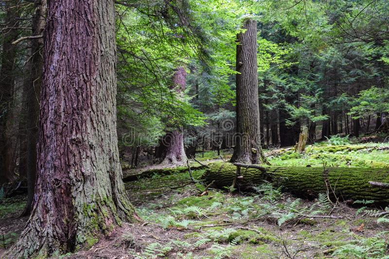 Cook Forest State Park Pennsylvania. stock photography